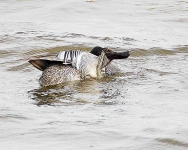 Garganey scratching - 1388