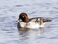 Goldeneye duck - 7842