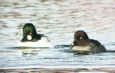 Goldeneye pair - 2136