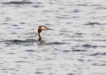 Great Crested Grebe - 1068
