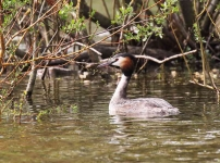 Great Crested Grebe - 1128