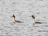 Great Crested Grebes - 1064