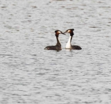 Great Crested Grebes - 1199