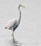 Great White Egret - 0202