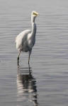 Great White Egret - 02242
