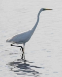 Great White Egret - 02372