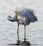 Great White Egret - 02432