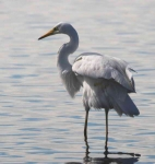 Great White Egret - 02442