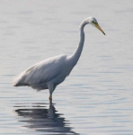 Great White Egret - 02492