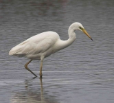 Great White Egret - 0310