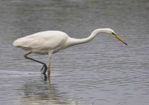 Great White Egret - 0313