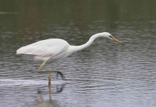 Great White Egret - 0317