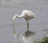 Great White Egret - 0331