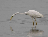 Great White Egret - 0335