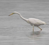 Great White Egret - 0349