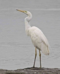 Great White Egret - 0367