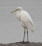 Great White Egret - 0369