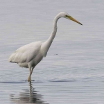 Great White Egret - 0385