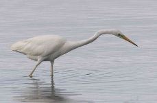 Great White Egret - 0386