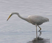 Great White Egret - 0387