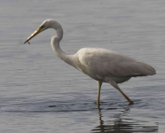 Great White Egret - 0389