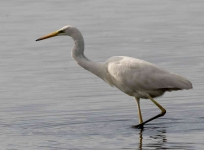 Great White Egret - 0390