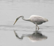 Great White Egret - 0408