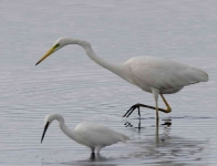 Great White and Little Egrets - 0382