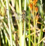 Keeled Skimmer Dragonfly-female-7880