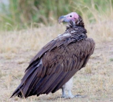 Lappet faced Vulture-4370