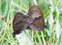 Large Wall Brown Butterflies mating - 8724