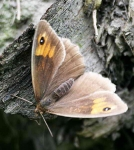 Large Wall Brown Butterfly - 9093