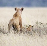 Lioness and cub-4232