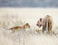 Lioness and cubs-4235