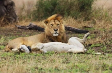 Lions - courting couple-4259