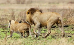 Lions - courting couple-4262