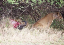 Lions eating the kill-4190