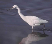 Little Egret - 003