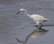 Little Egret - 0377