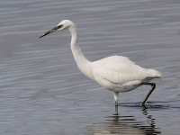 Little Egret - 0380