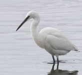 Little Egret - 0396