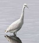 Little Egret - 0401
