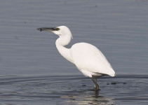 Little Egret - 0403