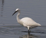 Little Egret - 0404