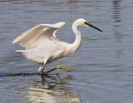 Little Egret - 0406