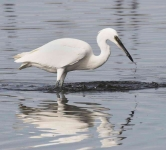 Little Egret - 0407