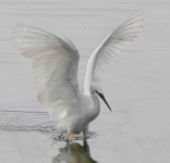 Little Egret - 0413