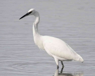 Little Egret - 0445