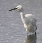 Little Egret - 0451