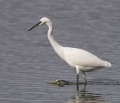 Little Egret - 0456